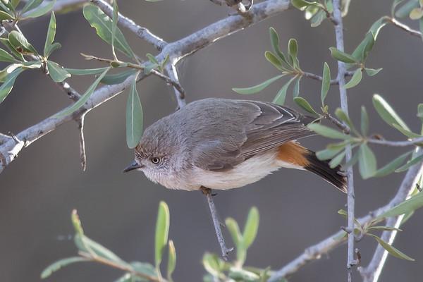 Chestnut-rumped Thornbill (Acanthiza uropygialis) - Eulo, Queensland