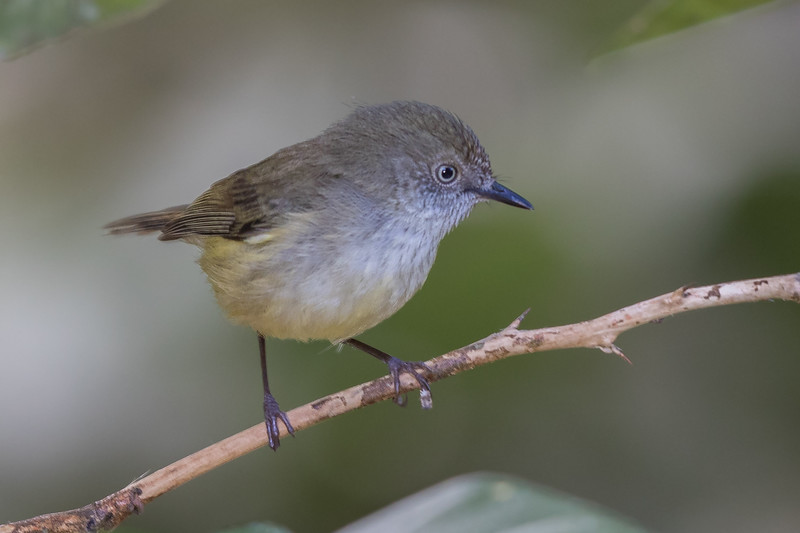 Mountain Thornbill (Acanthiza katherina) - Malanda, Queensland