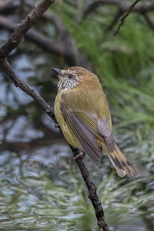 Striated Thornbill (Acanthiza lineata) - Clarkesdale, Victoria