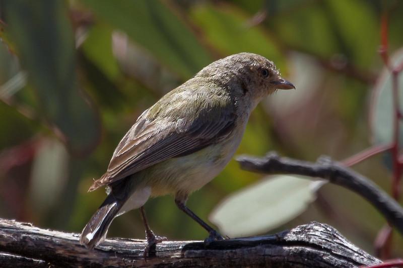 Weebill (Smicrornis brevirostris) - Gluepot, South Australia