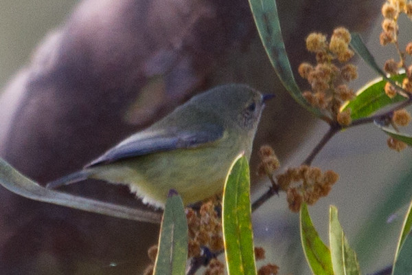 Yellow Thornbill - (Acanthiza nana) - Lockyer Valley, Queensland