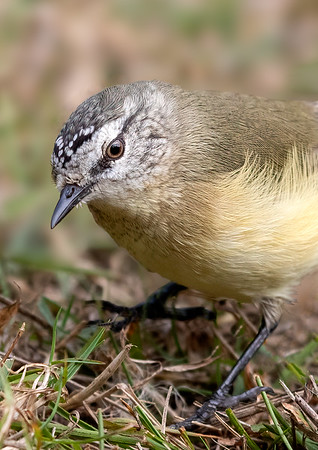 Yellow-rumped Thornbill - Capertee Valley, New South Wales