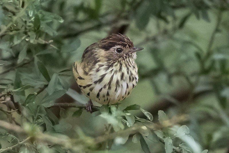 Speckled Warbler (Pyrrholaemus sagittatus) - Capertee Valley, New South Wales