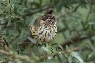 Speckled Warbler (Pyrrholaumus (Chthonicola) sagittatus) - Capertee Valley, New South Wales