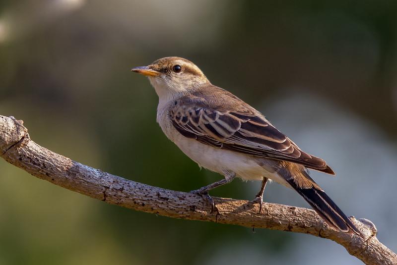 Varied Triller (Lalage leucomela) - Holmes Jungle Nature Park (Darwin), Northern Territory