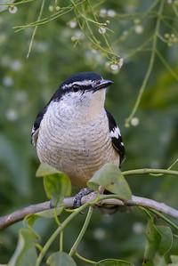 Varied Triller (Lalage leucomela) - Botanic Gardens (Darwin), Northern Territory