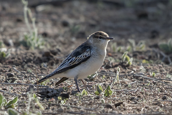White-winged Triller (Lalage tricolor) - , Bowra (Cunnamulla), Queensland
