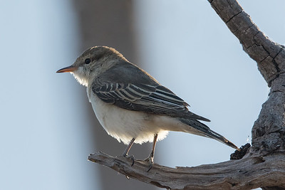 White-winged Triller (Lalage tricolor) - Edith Falls, Northern Territory