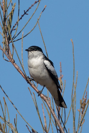 White-winged Triller (Lalage tricolor) - Thackaringa Rest Area (Broken Hill), New South Wales