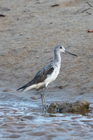 Greenshank  (Tringa nebularia - Buffalo Creek (Darwin), Northern Territory