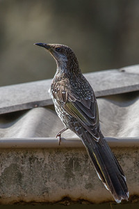 Little (Brush) Wattlebird (Anthochaera chrysoptera) - Point Cook Coastal Park, Victoria