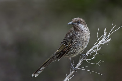 Little (Brush) Wattlebird (Anthochaera chrysoptera) - Geeveston, Tasmania