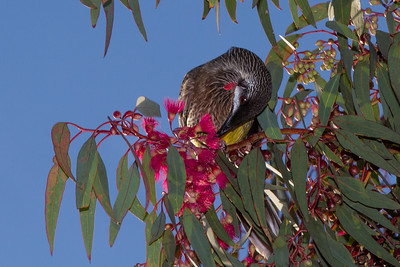 Red Wattlebird (Anthochaera carunculata), WA, Wireless Hill Park