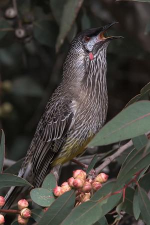 Red Wattlebird (Anthochaera carunculata) -Clarkesdale, Victoria