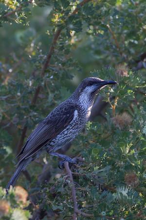 Western Wattlebird (Anthochaera lunulata) - Perth, Western Australia
