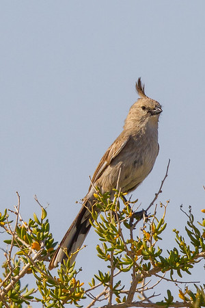 Chirruping Wedgebill (Psophodes cristatus) - Lake Eyre, South Australia