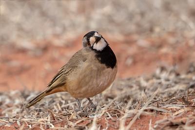 Crested Bellbird (Oreoica gutturalis) - Lake Ballard, Western Australia