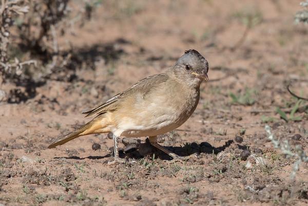Crested Bellbird (Oreoica gutturalis) - Cunnumulla, Queensland