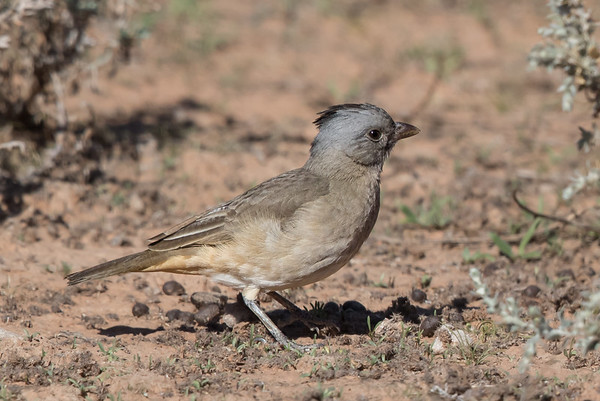 Crested Bellbird (Oreoica gutturalis) - Bowra (Cunnumulla), Queensland