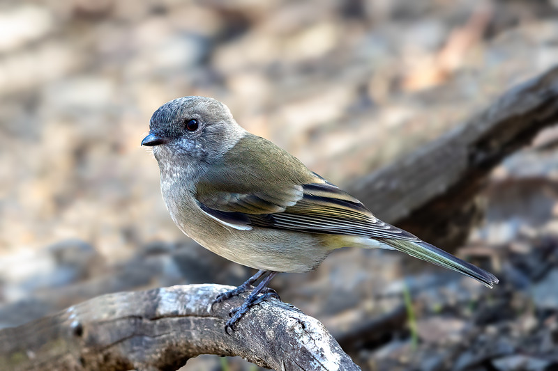 Olive Whistler (Pachycephala olivacea) - Chiltern,  Victoria