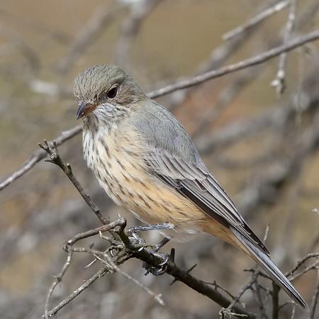 Rufous Whistler (Pachycephala rufiventris) - Clarkesdale, Victoria