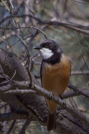 Rufous Whistler (Pachycephala rufiventris) - Gluepot, South Australia