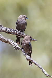 Dusky Woodswallow (Artamus cyanopterus) - Capertee Valley, New South Wales