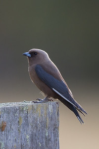 Dusky Woodswallow (Artamus cyanopterus) -  Pemberton, Western Australia
