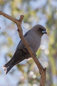 Dusky Woodswallow (Artamus cyanopterus) - Quilpie, Queensland
