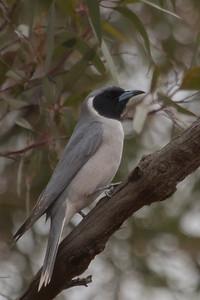 Masked Woodswallow (Artamus personatus) - Gluepot, South Australia