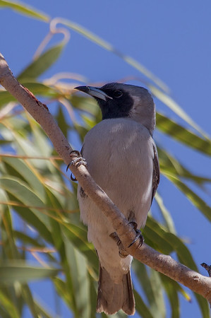Masked Woodswallow (Artamus personatus) - Gregory Downs, Queensland
