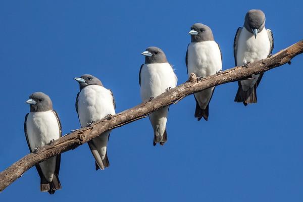 White-breasted Woodswallow (Artamus leucorynchus) - Laura, Queensland