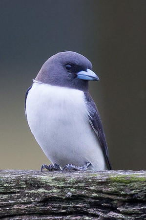 White-breasted Woodswallow (Artamus leucorynchus) - Tyto Wetlands (Ingham), Queensland