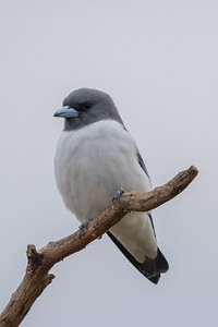 White-breasted Woodswallow (Artamus leucorynchus) - Clermont, Queensland