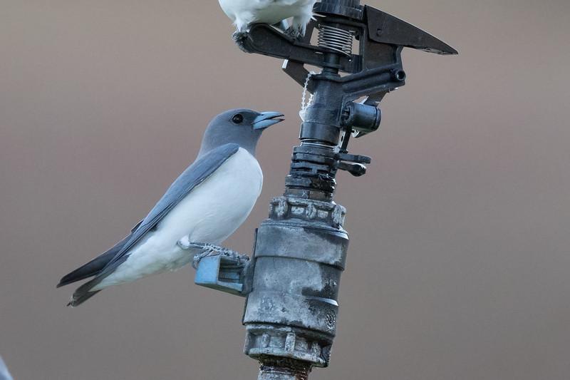 White-breasted Woodswallow (Artamus leucorynchus) - Pine Creek,  Northern Territory