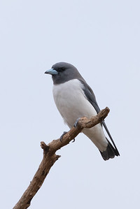 White-breasted Woodswallow (Artamus leucorynchus) - Clermont, Queensland