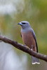 White-browed Woodswallow (Artamus superciliosus) - Capertee Valley, New South Wales