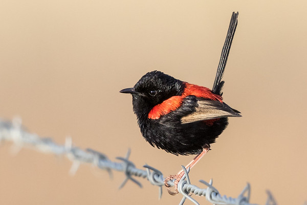 Red-backed Fairy-wren (Malurus melanocephalus) - Cumberland Dam (Georgetown), Queensland