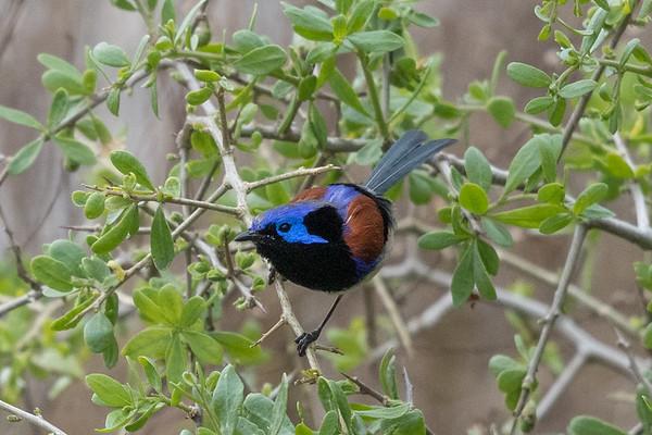 Variegated Fairy wren (Malurus lamberti) -  Lake Cargelligo, New South Wales