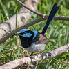 Superb Fairy Wren - Jamieson
