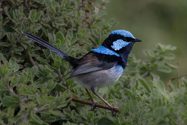 Superb Fairy-wren (Malurus cyaneus) - Werribee Treatment Plant, Victoria