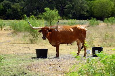 Austin Area Longhorns