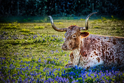 Longhorn in Blue