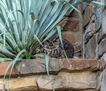 Athena - the resident Great Horned Owl