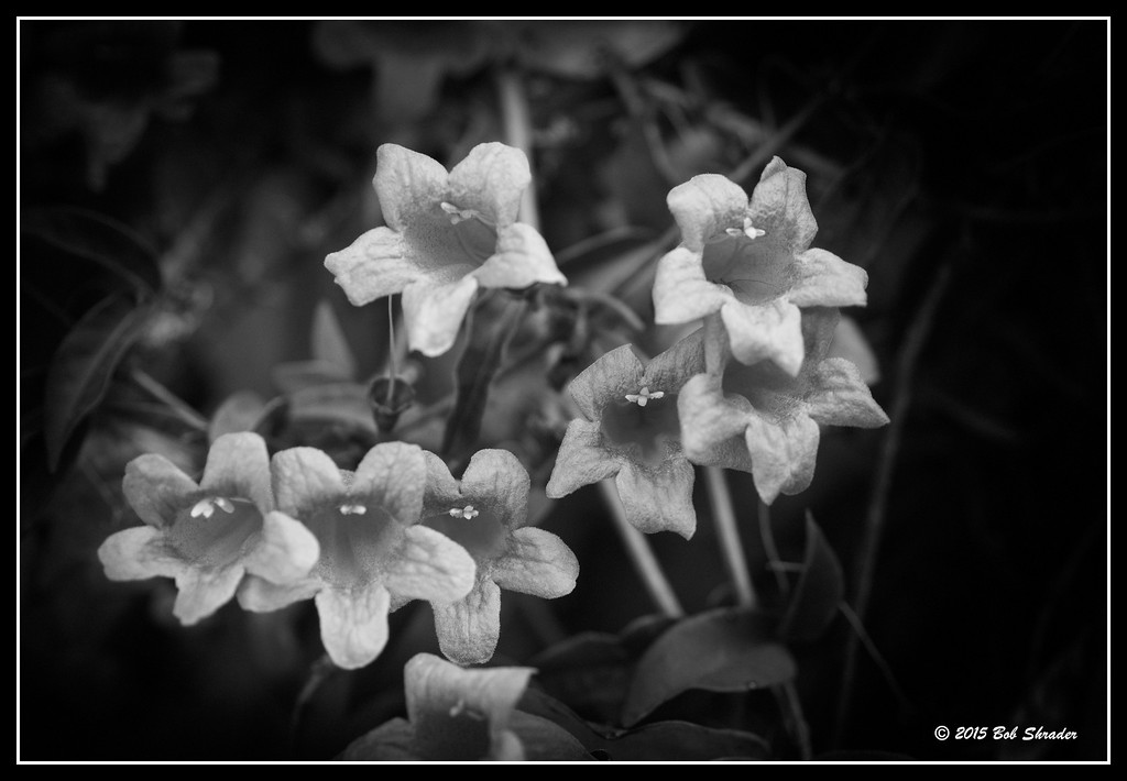 Trumpet Creeper in B&W