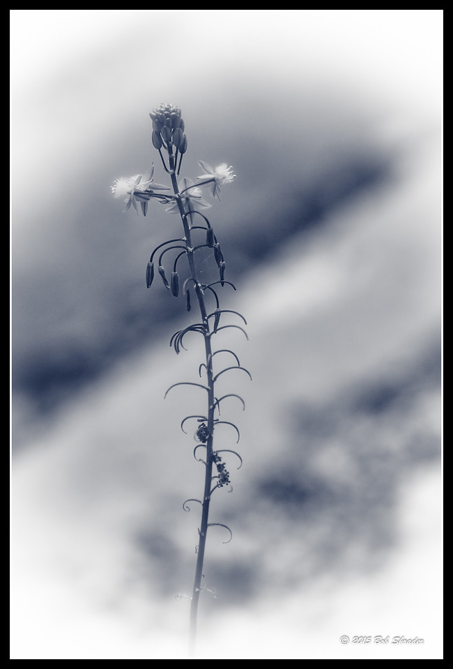 Bulbine in Black & White