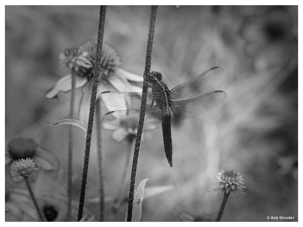 Dragonfly among Flowers