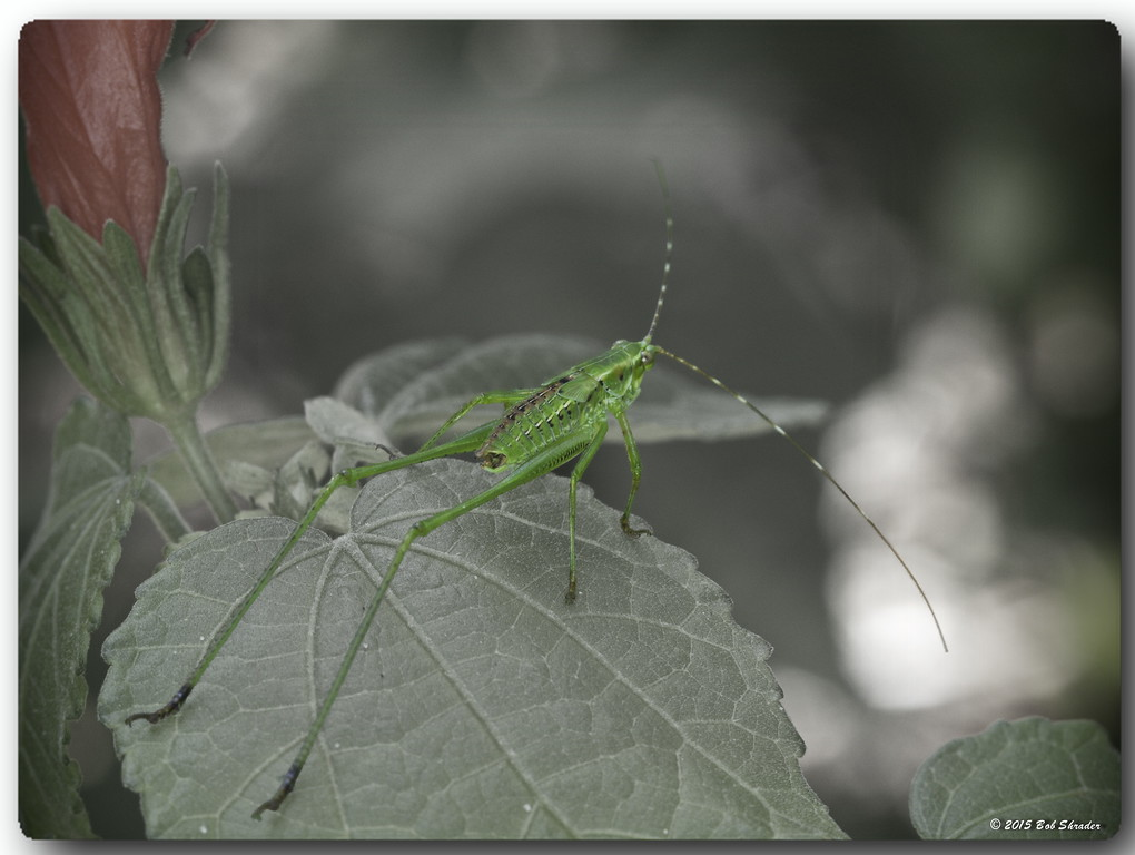Scudder's Bush Katydid