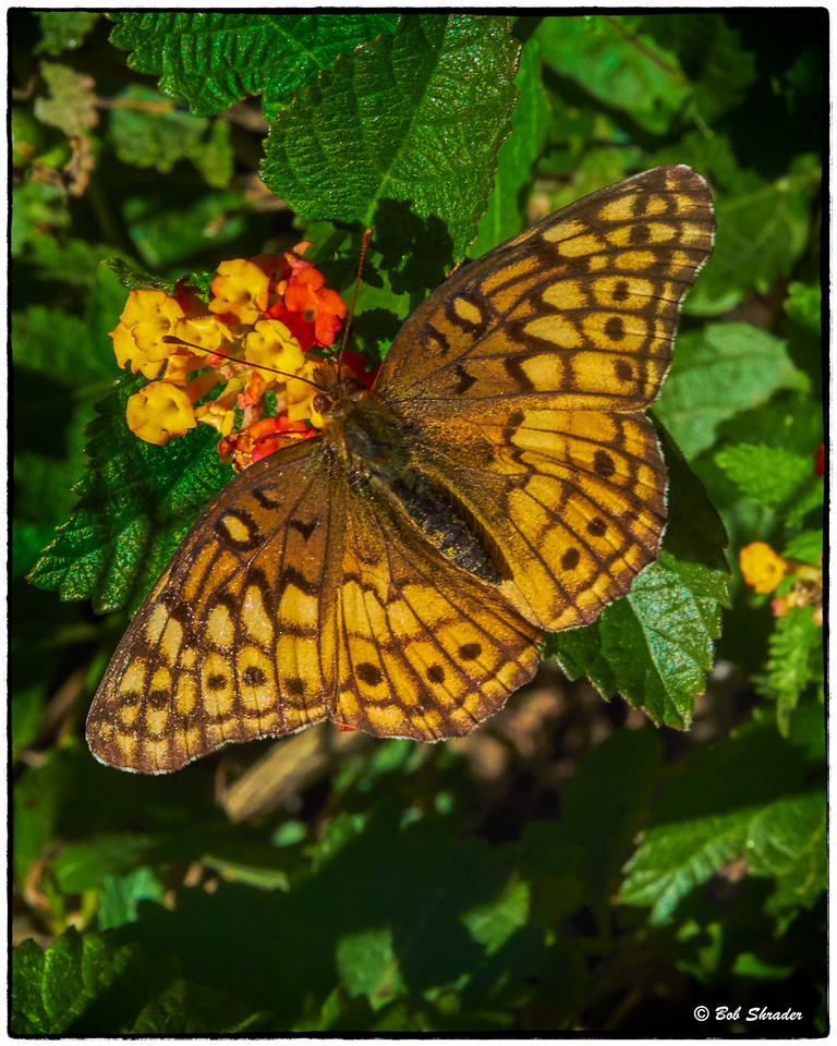 Butterfly on Texas Lantana