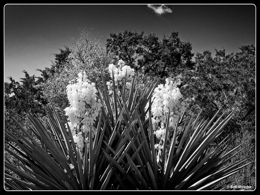 Spanish Dagger in B&W